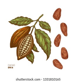 Cocoa beans illustration. Engraved style illustration. Chocolate cocoa beans. Cacao plant. Vector illustration