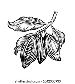Cocoa beans  isolated on white background. Vintage stylized drawing for chocolate packing, label, logo, menu. Vector hand drawn illustration in traditional retro style.