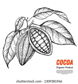 Cocoa beans vector illustration. Hand drawn sketch. Chocolate design. Chocolate beans. Vintage illustration. Vector logo for packaging cacao