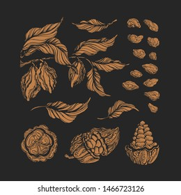 Cocoa set. Vector engraving. Chocolate natural ingredient. Botanical shape of bean, fruit, leaves. Isolate group. Organic food. Cacao sweet drink. Vintage illustration, hand drawn print