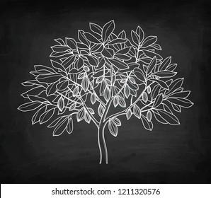 Cocoa tree. Chalk sketch on blackboard background. Hand drawn vector illustration. Retro style.