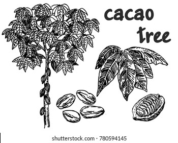 Cocoa tree. Isolated object on white background. Cocoa beans.