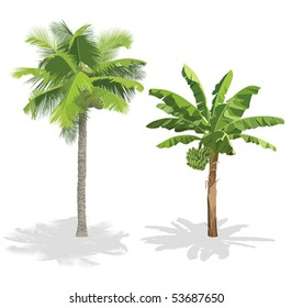 Coconut palm and banana tree isolated on white. Vector illustration.