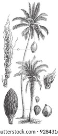 Coconut palm (Cocos nucifera) and Oil palm (Elaeis guineensis) / vintage illustration from Meyers Konversations-Lexikon 1897