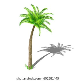 Coconut palm tree with shadow, with green leaves isolated on white background.