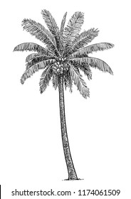 Coconut tree illustration, drawing, engraving, ink, line art, vector