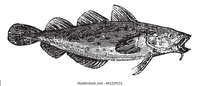 Cod fish or Gadus spp. From Domestic Life, vintage engraving, 1880.