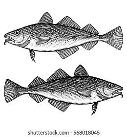 Cod Illustration