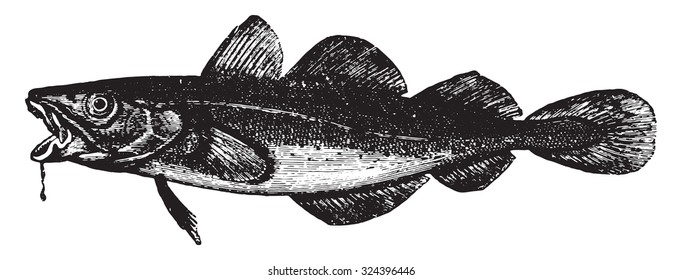 Cod, vintage engraved illustration. La Vie dans la nature, 1890.