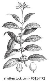 Coffea arabica / vintage illustration from Meyers Konversations-Lexikon 1897