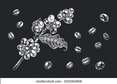 Coffee beans & branch - detailed realistic hand-drawn illustration white chalk on black background. Isolated vector for design packing & black walls and boards