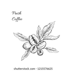 Coffee beans with leaves. Sketching style. Vector