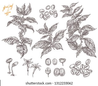Coffee been ripening stages vector hand drawn illustration. Process of growing coffee plant. Sketch botanical isolated set. Engreving branches, berry and flower for design or background