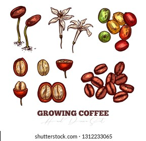 Coffee been ripening stages vector hand drawn illustration. Process of growing coffee plant. Sketch botanical isolated set. Engreving berry and flower for design or background
