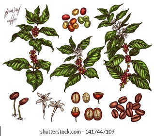 Coffee been ripening stages vector hand drawn illustration. Process of growing coffee plant. Sketch botanical isolated set. Engraving branches, berry and flower for design or background