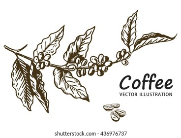 Coffee branch with leaf, berry, coffee bean, fruit, seed. Natural organic caffeine. Hand drawn vector illustration. Illustration on white background for shop. Green coffee.