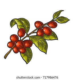 Coffee branch with leaf and berry. Hand drawn sketch style. Vintage color vector engraving illustration for label, web. Isolated on white background.