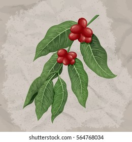 Coffee branch with leafs and beans. Vector illustration.
