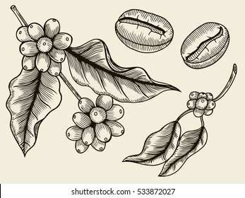 Coffee branch. Plant with leaf, berry, fruit, seed. Natural caffeine drink. Vector vintage drawn engraving illustration on beige background for shop