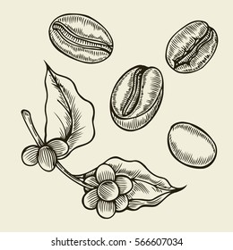 Coffee branch. Plant with leaf, berry, fruit, seed. Natural caffeine drink. Vector vintage drawn engraving illustration