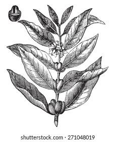 Coffee branch, vintage engraved illustration. La Vie dans la nature, 1890.