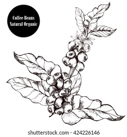 Coffee branch.Natural organic caffeine. Coffee plant with coffee leaf,berry,bean,coffee fruit, seed.Hand drawn coffee collection vector illustration.