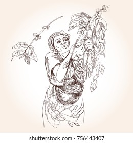 Coffee harvesting. Woman collects coffee fruit from branches of trees and places coffee berries in a basket. Vintage illustration.