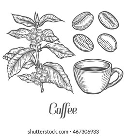 Coffee plant branch with leaf, berry, coffee bean, cup, seed. Natural organic caffeine. Green coffee, luwak. White on black background. Hand drawn sketch vector illustration coffe.