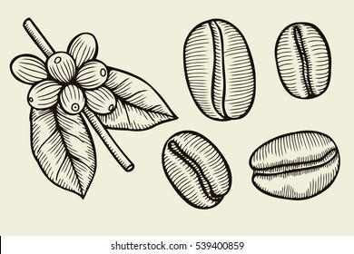 Ramo de planta de café com folha, baga, grão de café, frutas, sementes. Cafeína orgânica natural. Café verde, Luwak. Preto sobre fundo branco. Coffe ilustração vetorial esboço desenhado à mão.