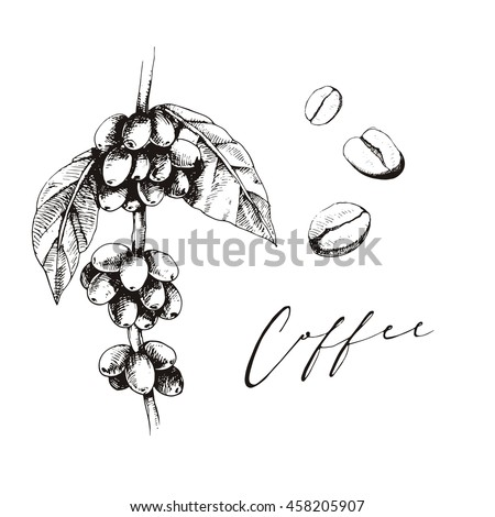 Coffee Plant Graphic Sketch Coffee Beans Stock Vector Royalty Free