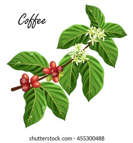 Coffee tree branch with beans and flowers. Vector illustration, isolated on white background.