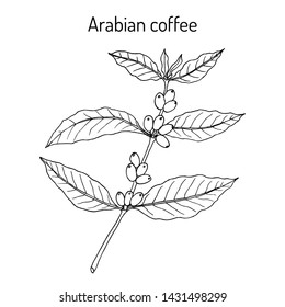 Coffee tree branch (coffea arabica). Hand drawn botanical vector illustration