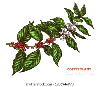 Coffee tree colorful sketch branch with white flowers and red berries. Hand drawn isolated vector. Engraving vintage botanical or floral  illustration