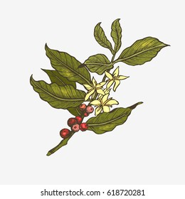 Coffee tree illustration. Engraved and colorful style illustration. Vintage coffee.