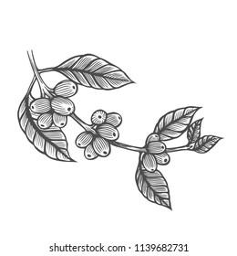 Coffee tree illustration. Engraved style illustration. Vintage image style
