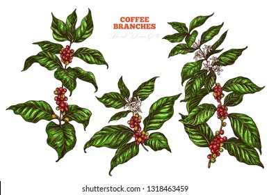 Coffee tree vector collection. Hand drawn illustration of branches with flowers, berries and leaves. Colorful vintage botanical sketch