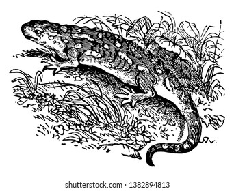 Cold Blooded Salamander which may be divided into the land salamander and the water salamanders, vintage line drawing or engraving illustration.
