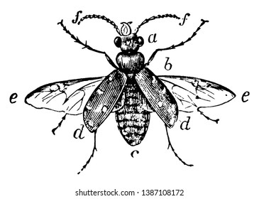 Coleoptera is a group of insects that form the order Coleoptera, vintage line drawing or engraving illustration.