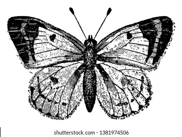 Colias Hyale Butterfly which is a butterfly of the Pieridae family, vintage line drawing or engraving illustration.