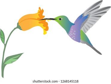 Colibri Hummingbird , Colibri Bird Sucking Nectar Flower - Vector Illustration