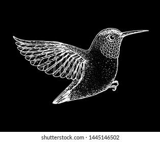 Colibri sketch, vector illustration. Hand drawn flying colibri bird. Engraved illustration. Hummingbird  sketch.