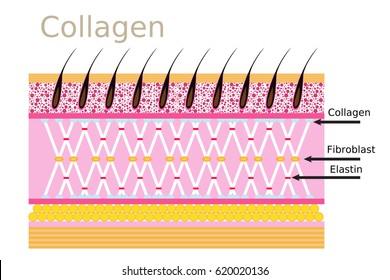Collagen connective tissue skin diagram, Skin vector