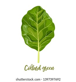 Collard greens leaves. Collards, Brassica oleracea, Acephala. Food concept. Fresh juicy raw cabbage. Healthy diet, vegetarian, spring vegetables, seasonings. vector illustration, organic salads