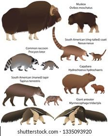 Collection of animals with cubs living in the territory of North and South America: muskox, common raccoon, south american tapir, giant anteater, capybara, south american coati