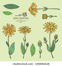 Collection of arnica montana: arnica flower and leaves. Cosmetic and medical plant. Vector hand drawn illustration
