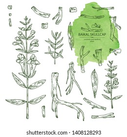 Collection of baikal skullcap: baikal skullcap flowering branch and root. Cosmetic and medical plant. Vector hand drawn illustration