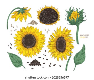 Collection of beautiful realistic drawings of sunflower parts. Bundle of flowers, buds, seeds and leaves hand drawn on white background. Colorful vector illustration in elegant vintage style.