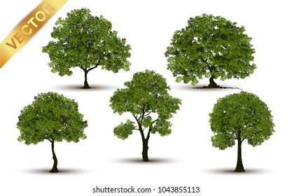 Collection  Beautiful tree Realistic  on a white background.