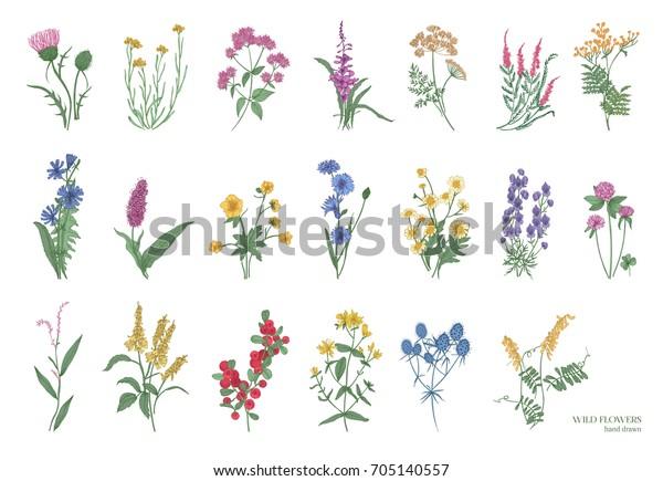 Коллекция красивых диких трав, травянистых цветущих растений, цветущих цветов, кустарников и подкустарников, выделенных на белом фоне. Ручная нарисованная детальная иллюстрация ботанического вектора.