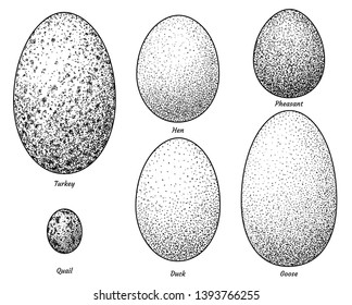 Collection of bird eggs illustration, drawing, engraving, ink, line art, vector